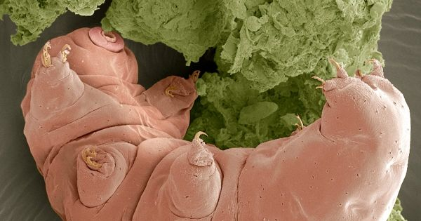 Le tardigrade sera capable de survire à une collision d'astéroïdes