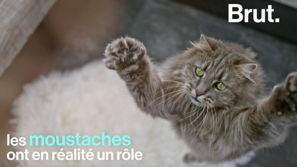 VIDEO. Se repérer, se faufiler... Mais à quoi les moustaches du chat servent-elles ?