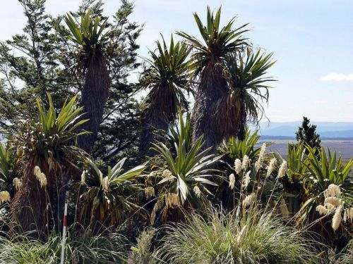 """Cordyline à feuilles larges, <span style=""""font-style:italic;"""">Cordyline indivisa</span>"""
