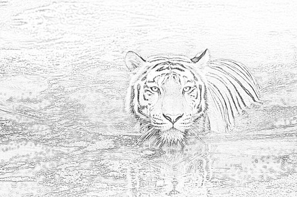 Tiger in water coloring page - Mimi Panda