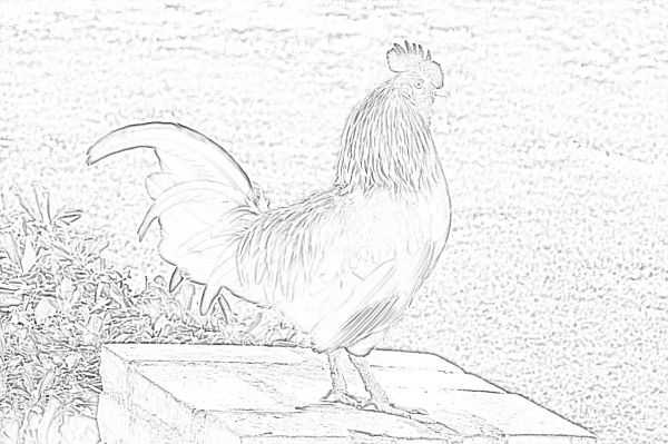 Rooster coloring page - Mimi Panda