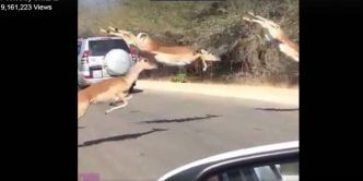 Quand un troupeau d'antilopes traverse la route en bondissant ! (VIDEO)