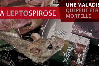 Attention aussi à la leptospirose