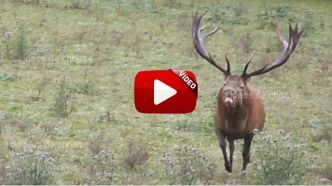 VIDEO : Deux grands cerfs durant le brame !