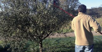 Olives : Une production record de 1,56 million  de tonnes