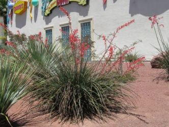 "Yucca rouge, Yucca corail, Faux-yucca, <span style=""font-style:italic;"">Hesperaloe parviflora</span>"