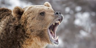 Gronder comme l'ours ( Paul Calzada )