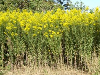 """Solidage du Canada, Verge d'or du Canada, <span style=""""font-style:italic;"""">Solidago canadensis</span>"""