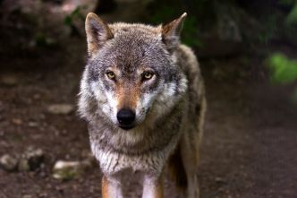 France : le gouvernement pourrait augmenter les quotas d'abattage de loups