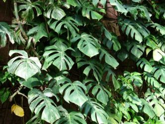 """Faux philodendron, <span style=""""font-style:italic;"""">Monstera deliciosa</span>"""