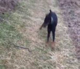 Quand un serpent interrompt la promenade d'un chien