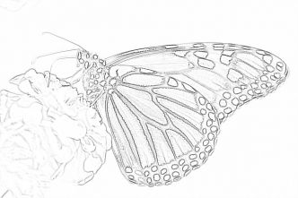 Monarch Butterfly coloring page - Mimi Panda