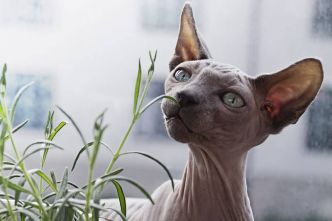 Sphynx : un chat de race sans poils à l'allure unique !