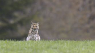 Un cliché rare immortalise la beauté d'un lynx en France !